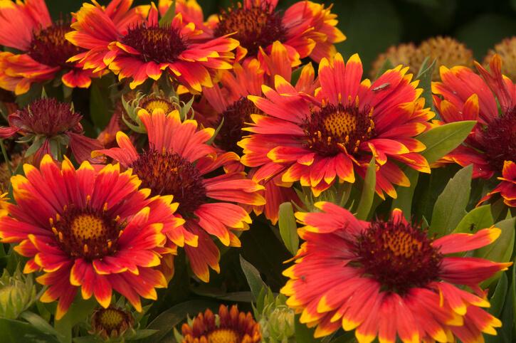 Die Blütenvielfalt der Kokardenblume