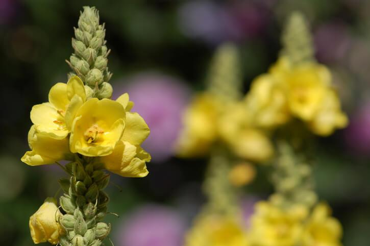 Die Blütezeit der Königskerze