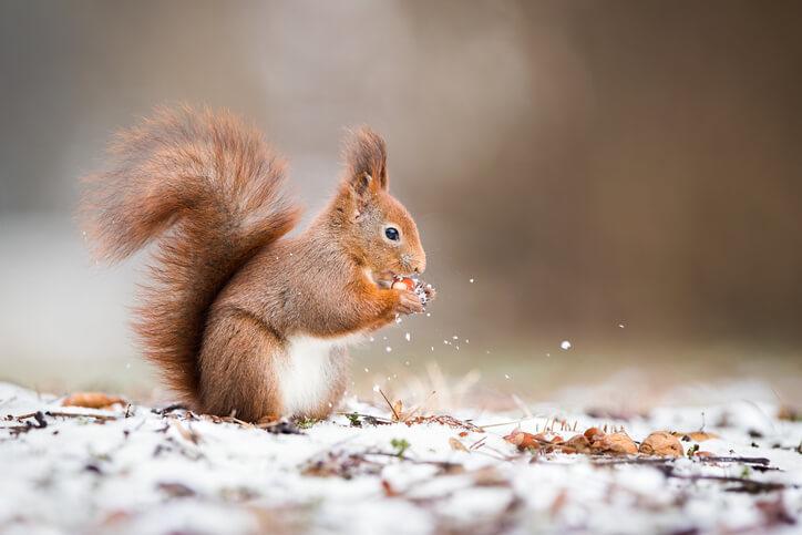Dieses Futter ist für Eichhörnchen geeignet