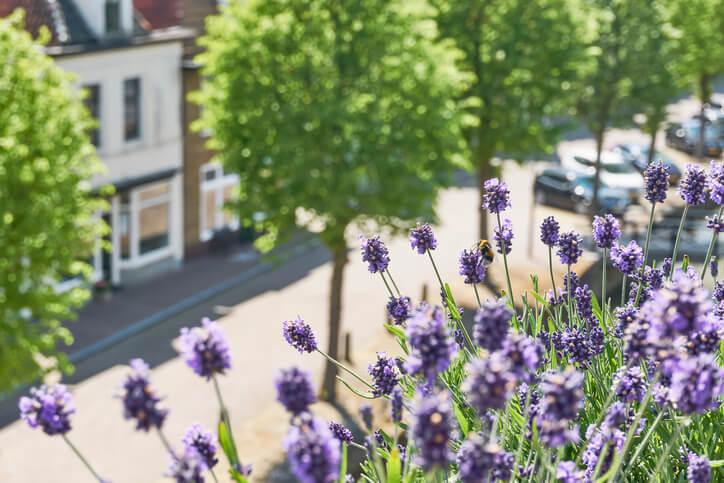 Lavendel - im Garten, auf Balkonen und Terrassen