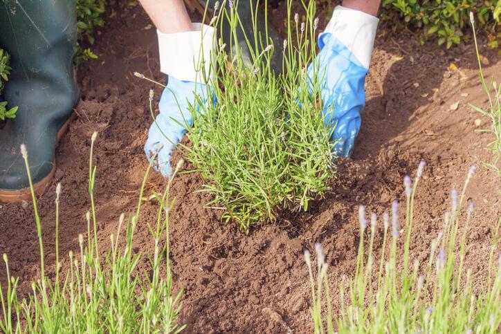 Lavendel pflanzen - wann ist der beste Zeitpunkt und was ist wichtig