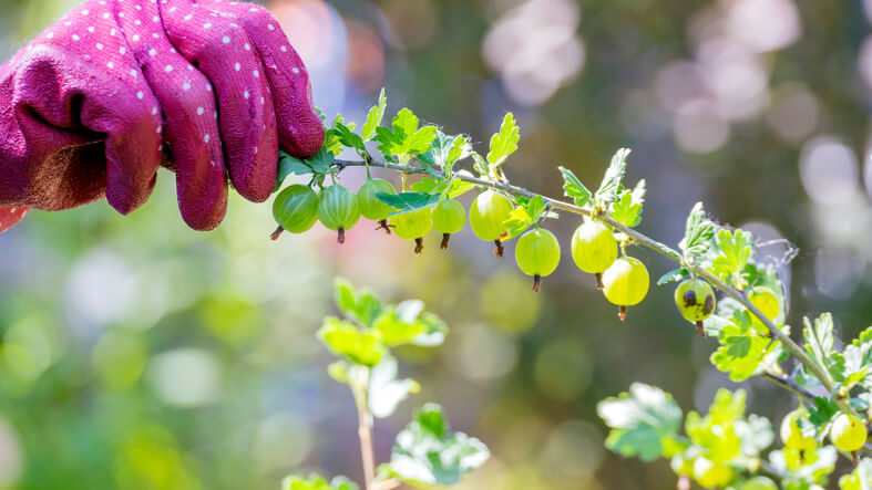 Stachelbeeren sicher ernten
