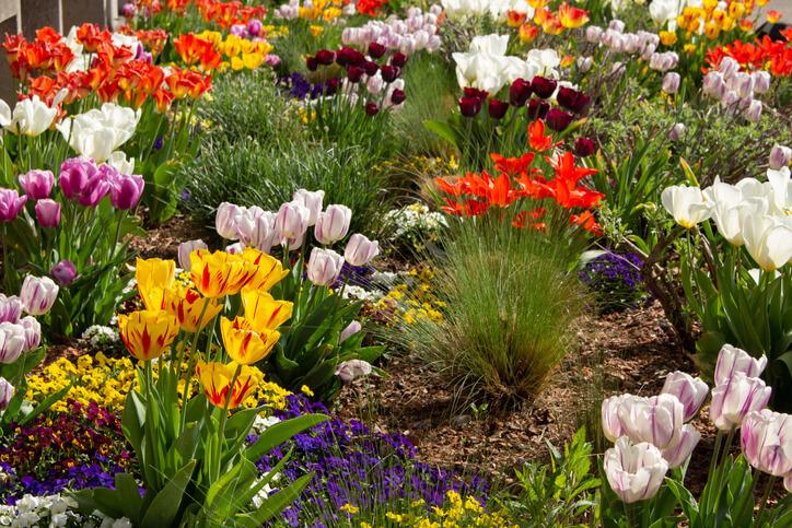 Tulpen - Die beliebten Frühjahrsblüher