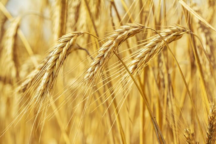 Weizen - die bedeutendste Getreideart