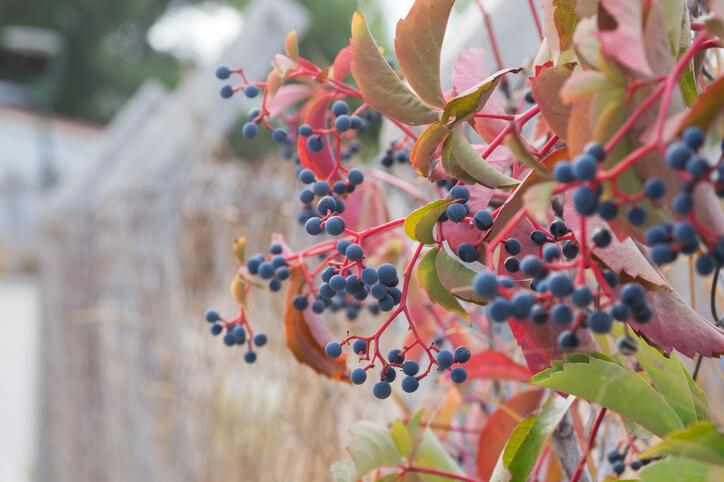 Welche Teile des Wilden Weins sind ungenießbar