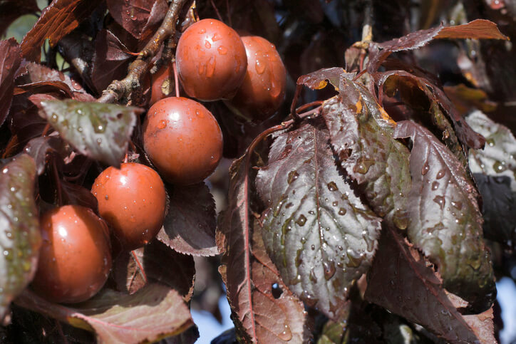 Fruchtbildung und Aussehen der Früchte
