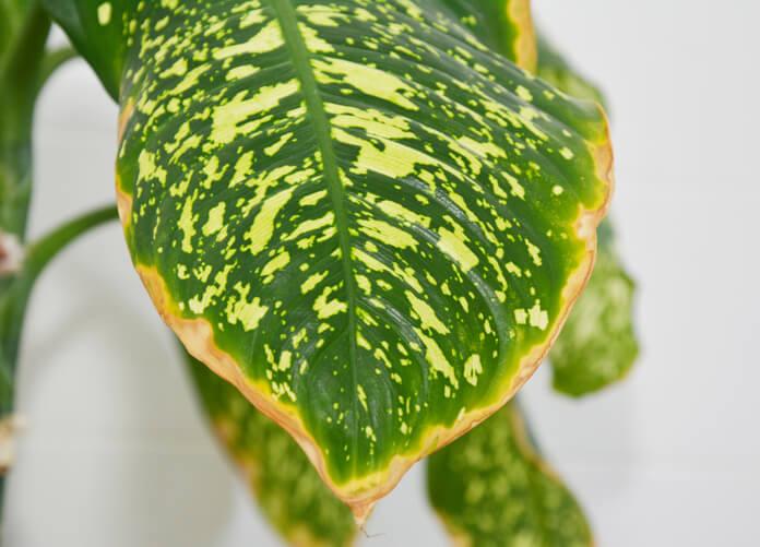 Die Ursachen für braune Blätter bei der Dieffenbachia