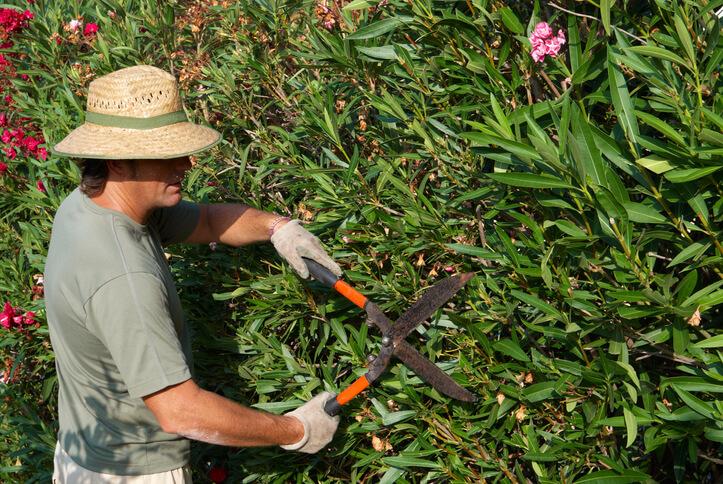 Oleander im Frühjahr schneiden