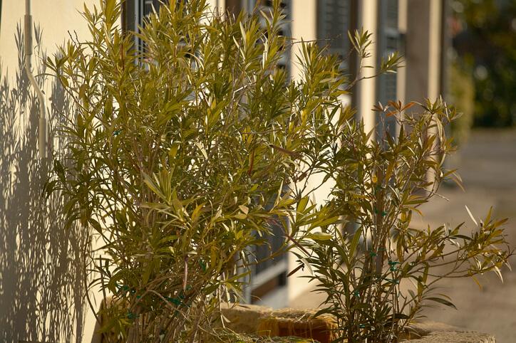 Oleander im Herbst schneiden