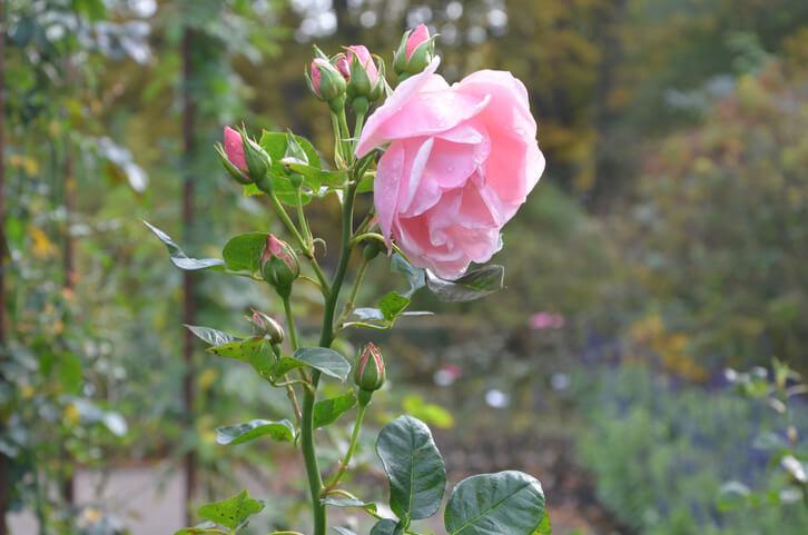 Stachellose Rosen
