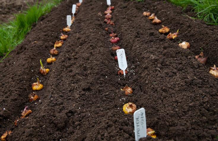 Tipps zur Pflege der Blumenzwiebeln